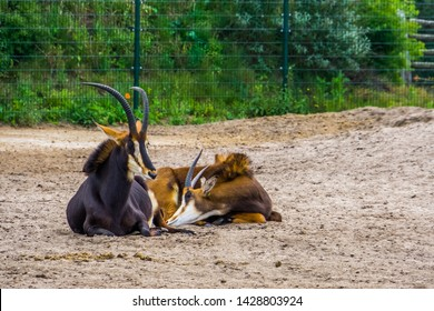 couple of sable antelopes together, male and female antelope, Tropical animal specie from Africa