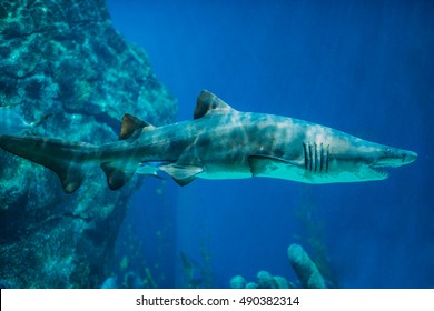 A couple of Sand Tiger Sharks (Carcharias taurus) swimming underwater. Underwater nature sea life. Aquarium. Sealife wallpaper. Travel inspiration. Postcard concept.