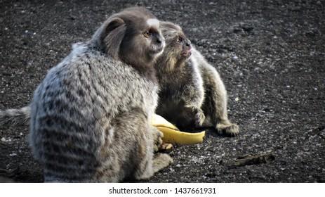 Couple of scared monkeys eating