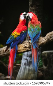 Couple of Scarlet Macaw parrot, Colorful macaws