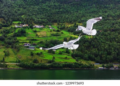 couple of seagulls over the fjord of Norway