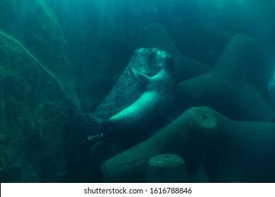 Couple seal hugging underwater inside the pool at Asahikawa Zoo, the attraction for tourist. Asahikawa, Hokkaido, Japan