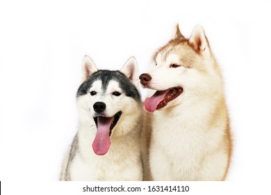 Couple of Siberian Huskies smiling with white background. Two lover of happiness dogs portrait. - Shutterstock ID 1631414110