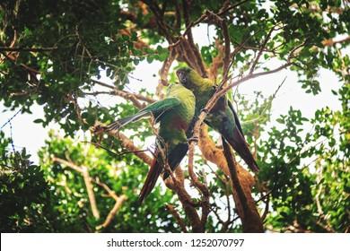 Couple of Slender-billed parakeet at Chiloe National Park - Chiloe Island, Chile