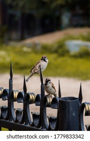 Couple of small sparrows talk while sitting on a metal fence on a sunny day. Place for text, copy space.