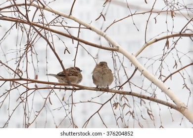 Couple of sparrows