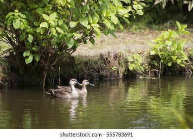 Couple of spot-billed ducks on the pond.
