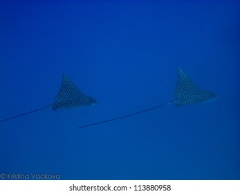 Couple of Spotted Eagle rays in deep water (Aetobatis narinari)