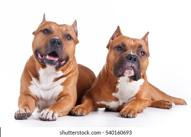 couple of Staffordshire terriers, lie on a white background