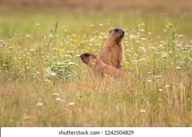 A couple of Steppe marmots (Marmota bobak) from province Poltava Oblast in Ukraine. Two cute and funny wild animals Bobak marmots standing in the flowering grassland in nature habitat.