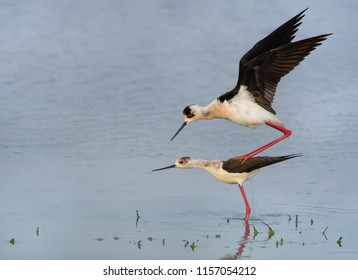 couple of stilts copulating in the lake - Burgenland - Neusiedler Lake
