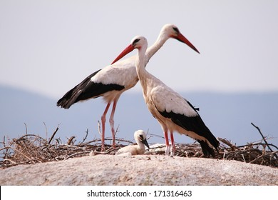 A couple of Storks with his young above the rocks in Barruecos natural monument, Extremadura, Spain