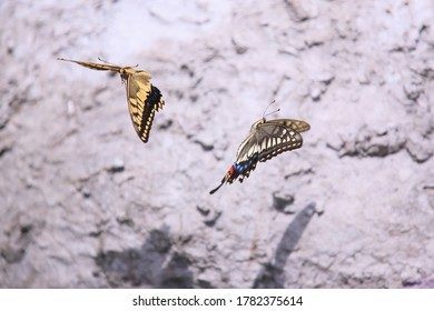 Couple of swallowtails dancing in the air in front of the wall