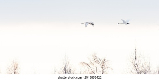 A couple of swans flying on a could misty morning at the northern part of Germany
