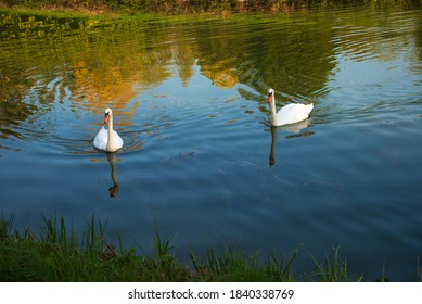 Couple of swans in Loing river canal water. Ile-de-France, France. Beautiful reflection of autumn trees and blue sky. Beautiful nature seasonal landscape background. Environment, eco-planet concepts.