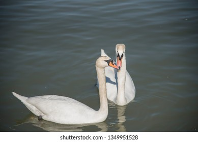 couple of swans in love