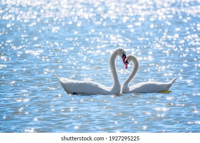 The couple of swans with their necks form a heart. Mating games of a pair of white swans. Swans swimming on the water in nature. Valentine's Day background. The mute swan, latin name Cygnus olor.