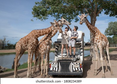 Couple taking a bus tour, feeding and playing with giraffe on safari open park zoo.
