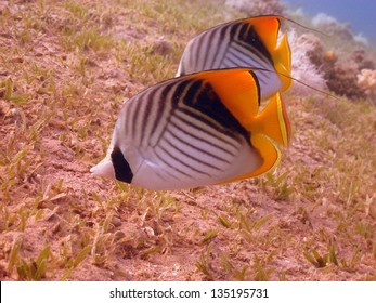 Couple of the Threadfin butterflyfishes (Chetodon auriga) eating on the sea-grass bottom in beautiful shallow lagoon