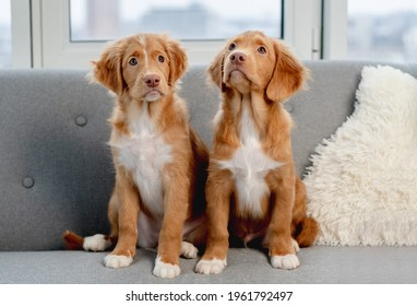 Couple of toller puppies sitting on gray sofa at home