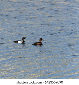 Couple of Tufted Ducks, Aythya fuligula, swimming together in glittering water
