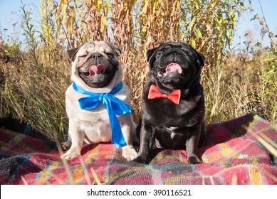 Wonderful Pug Bow Adorable Dog - couple-two-adorable-pug-puppy-260nw-390116521  2018_98848  .jpg