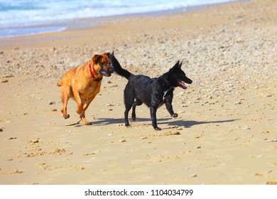 couple of two dogs  running on the beach