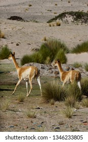 A couple of vicunas