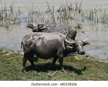 Couple of Water Buffalo in wetland