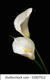 Couple of white Calla lily isolated on black background