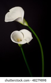 A couple of white Calla lily on a black background - color image