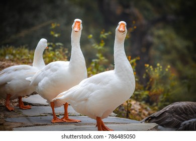 A couple of white ducks standing near the lakeside looking straight at the camera