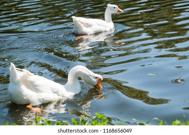 Couple of white geese swimming and drinking water in river in summer