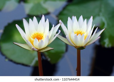 Couple white Lotus flower or Nymphaea nouchali or Nymphaea stellata is a water lily of genus Nymphaea.