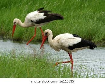 Couple of white storks, feeding in a lake