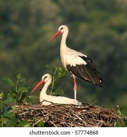 couple of white storks in nest