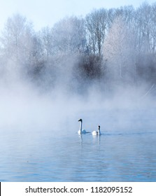 Couple of white swans get rest on the ice-free lake in a frozen fog. Migratory waterfowls swims along the water against background of cold forest. Swan Lake, Altai Territory, Siberia, Russia. January.
