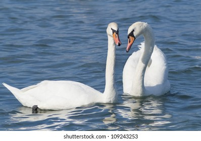 Couple of white swans, symbol of love.