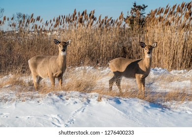 A couple of white tail deer down at the beach in the snow.