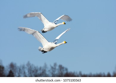 A couple of whooper swan in migration. Heading north. Forest in the background.