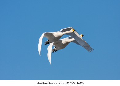A couple of whooper swan in migration. Heading north. Bright sunshine in April.