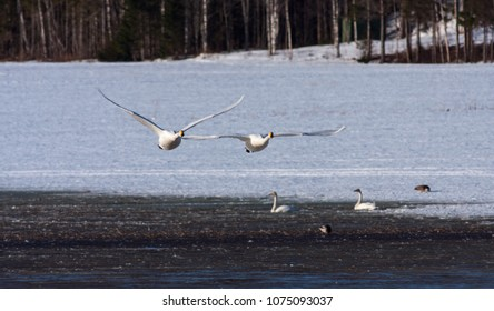 A couple of whooper swan in migration. Leaving a rest place. Snowy fields.