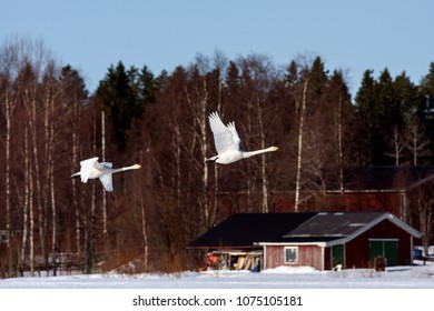 A couple of whooper swan in migration. Leaving a rest place. Heading north. Buildings in the background.