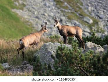 couple wild mountain goat in Tatras