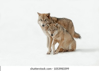 couple wolves winter in the wild, wolves male and female walking together, isolated background