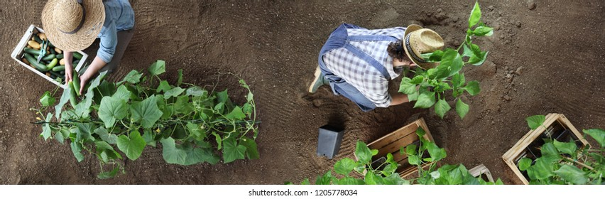 couple working in vegetable garden, collects a cucumber in wodden box and plant the peppers plants , top view isolated on soil, banner copy space template