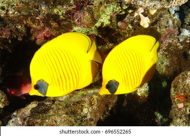 Couple of yellow butterflyfish over the reef