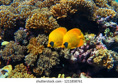 A couple of yellow masked or blue-cheek butterflyfish swimming above coral reef. Tropical fish and underwater corals. Scuba diving with aquatic wildlife.  Picture from snorkeling vacation.