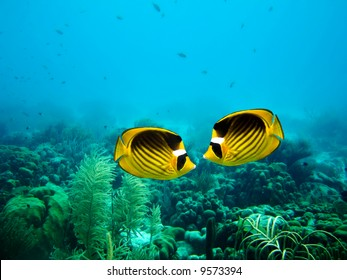 A couple of Yellow Masked Butterfly fish on a coral reef