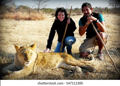 A couple of young adults walk with lions contributing to a local reservation wildlife program close to Victoria Falls in Zimbabwe.
